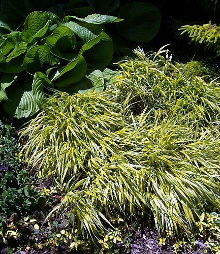 Golden Japanese Forest Grass -Hakonechloa- Shade Lover