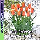 ★ 【春色】チューリップ バレリーナ【オランダからの花便り】【秋植え球根】5球