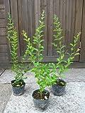 プリペット 樹高80cm前後 ポット苗 生垣に最適です!人気の常緑低木樹♪
