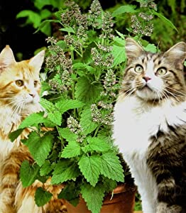 Potted Plants: Catnip. Nepeta Cataria Catmint Pack of 3 Plants
