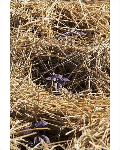 Purple basil plants growing in straw mulch
