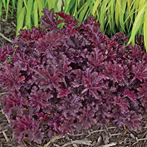 Amazon.com : heuchera MELTING FIRE : Flowering Plants : Patio, Lawn