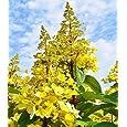 BALDUR-Garten Freiland-Hortensien 'Candlelight®', 1 Pflanze, Hydrangea paniculata Candlelight
