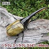 むしや本舗 ヘラクレスオオカブト成虫 オス(ヘラクレスヘラクレス) 147~149mm [生体]