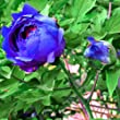 20 Blue Peony Flower Seeds Paeonia Potted Home Garden Plant