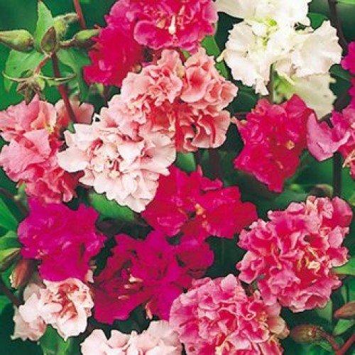 Flora Fields Clarkia (Godetia, Satin Flower) - Double Satin Mix