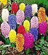 BALDUR-Garten Hyazinthen Prachtmischung, 10 Zwiebeln