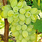 Live Grapes Plant Sweet Grapes Vine Live Fruit Plant