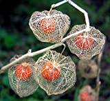 Chinese Lantern Seeds by National Gardens