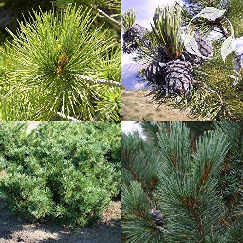 RUSSIAN CEDAR Pinus Cembra - 10+ SEEDS