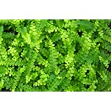 "Hirt's Lemon Button Fern 4"" Pot - Nephrolepis cordifolia Duffii"