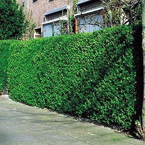 Ligustrum ovalifolium/Troène vert - 40 plantes de haies