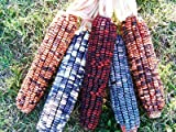 Dent Corn Daymon Morgan's Kentucky Butcher D41317A (Multi Color) 50 Organic Heirloom Seeds by David's Garden Seeds