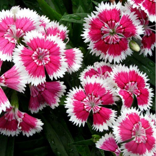 Flora Flora Fields Dianthus (Sweet William, Carnation) - Baby Doll (Pink)
