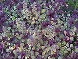 "Burgundy Glow Ajuga 24 Plants - Carpet Bugle - Very Hardy - 2 1/4"" Pot"