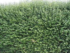 50 green privet hedging ligustrum plants hedge 40 60cm. Black Bedroom Furniture Sets. Home Design Ideas