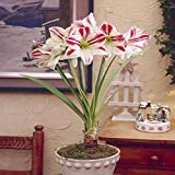 Hippeastrum Amaryllis Ambiance - 1 bulbe de fleur