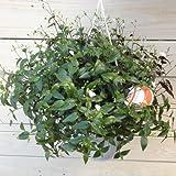 Amazon.co.jp観葉植物 鉢花 吊り鉢:ブライダルベール*