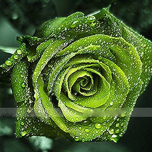 (DGE *Ambizu*) 50 Seeds / Pack, Dark Green European Rose Bush Seed Fragrant Flower Garden Plant