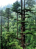 Himalaya-Zeder -Cedrus deodara- -Winterhart- 10 Samen **Bis zu 35 Meter