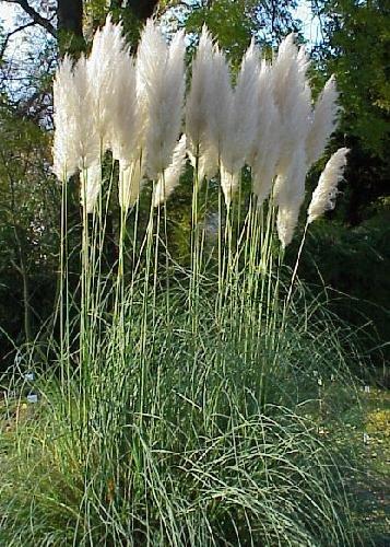 produkt bild tropica gr ser und bambus amerikanisches pampasgras cortaderia selloana. Black Bedroom Furniture Sets. Home Design Ideas