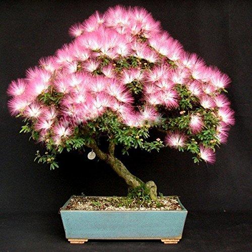 paleo-10pcs-el-jardin-albizia-julibrissin-flor-siembra-la-flor-aterciopelada-planta-en-conserva