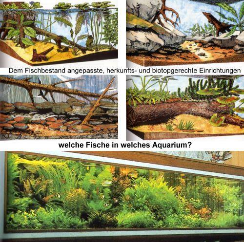 Ratgeber gesellschafts aquarium welche fische passen for Welche fische passen zu goldfischen im gartenteich