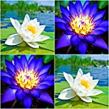 (Combo Of 2 Colors) Floral Treasure WHITE & BLUE Lotus Seeds - Pack Of 10