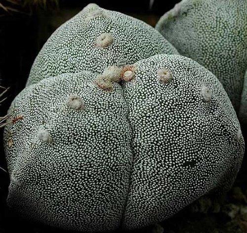 Astrophytum myriostigma tricostatum seeds