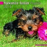 Yorkshire Terrier Puppies 2014