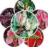 花の種200個の種子ブラックドラゴンコリウス花の種 - 美しい恍惚植栽の花盆栽種子