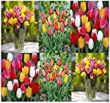 10 x Triumph Tulips Mix BULBS - BEAUTIFUL EFFORTLESS SPRING MIX - FALL OR SPRING PLANTING - By MySeeds.Co