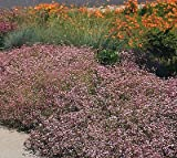 300 Gypsophila Seeds - Repens Rose, Creeping Baby's Breath Flowers, Perennial !