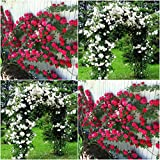 (Combo Of 2 Colors) Floral Treasure Red & White Climbing Rose Seeds - Pack Of 20