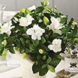 Fragrant Gardenia Plant In 6 inch Basket Great Gift!