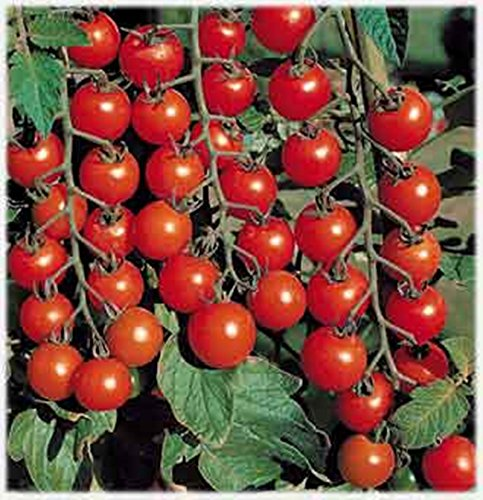 Rare Seeds Red Cherry Tomato Cherri Organic Russian Heirloom Vegetable Seed (Bush Tomatoes compare prices)