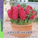 【鮮やかな赤色】ヒヤシンス・ジャンボス・2球【秋植え球根】【甘い香り】