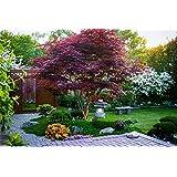 Japanese Maple Acer palmatum Tree - 3.5