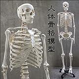 人体骨格模型 HUMAN SKULL
