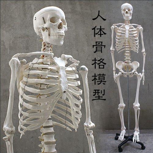 人体骨格模型 HUMAN SKULL [おもちゃ&ホビー]