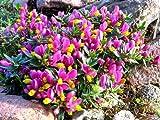 8 PACK (9cm Pots) Shrub - Polygala Chamaebuxus Grandiflora (Kamnisky/Creeping Milkwort) Low Growing Garden Plant