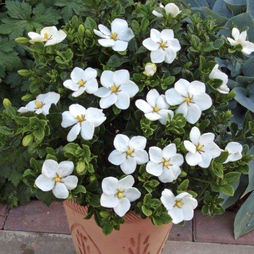 grow-your-secret-garden-cape-jasmine-10-seeds