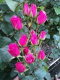 120 Real Fresh Spray Rose, Hot Pink Folies