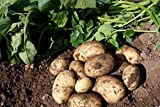 JBA SCOTTISH SEED POTATOES - PENTLAND SQUIRE (MAINCROP) - 2KG