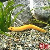 (淡水魚)ヒドジョウ M~Lサイズ(3匹) どじょう 本州・四国限定[生体]