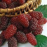 "Loganberry Plant - 4"" Pot - Looks like a Blackberry - Tastes like a Raspberry"
