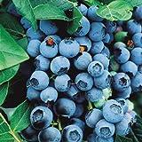Saavyseeds Organic Highbush Blueberry Seeds - 105 Count -