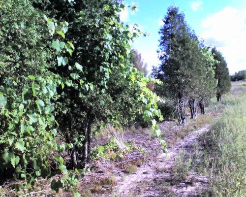 10 Wild Grape (Vitis riparia) 3-6