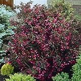 Weigela florida Alexandra - 1 shrub