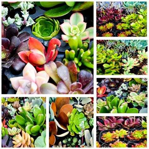 100 of JIIMZ Succulent ROSETTE style CUTTINGS great for Wedding Favors, Wall Gardens and Wreaths